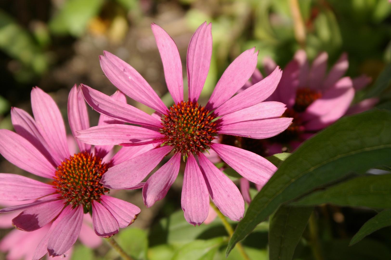 Sonnenhüte (Echinacea)