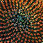 Sonnenhut (Echinaceae)