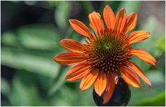 Sonnenhut in orange