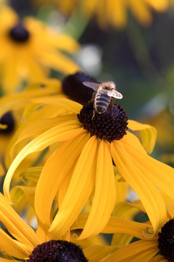 Sonnenhut mit Biene
