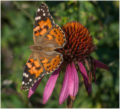 Sonnenhut mit Schmetterling