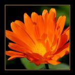 Sonnenkind Calendula