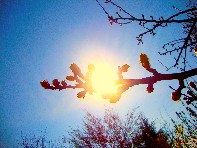 Sonnenknospe