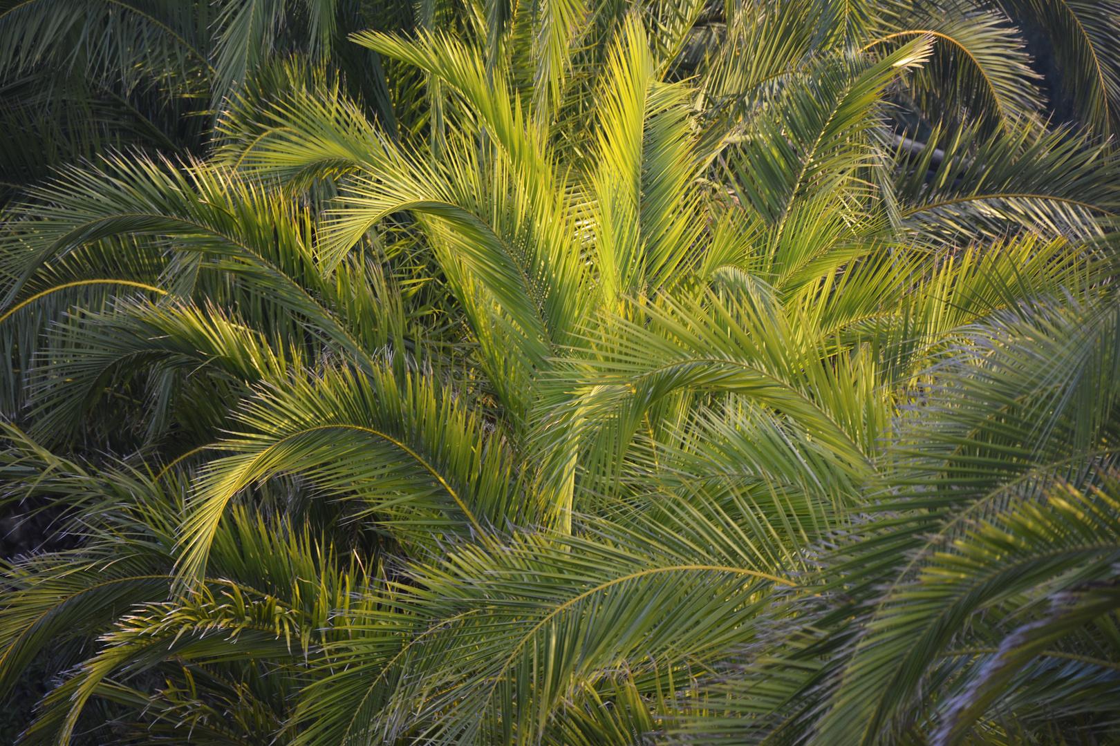 Sonnenlicht in Palmenzweigen