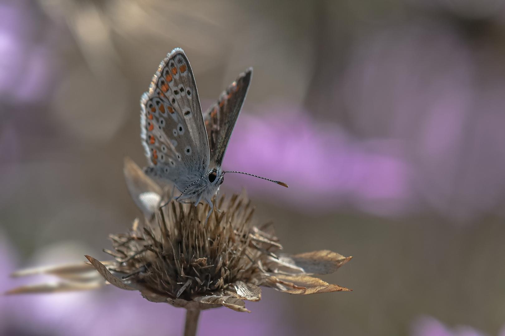 Sonnenröschen-Bläuling, Aricia agestis.
