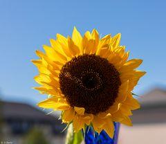 Sonnenschein & Sonnenblume (1)
