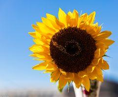 Sonnenschein & Sonnenblume (2)