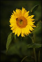 Sonnentanker