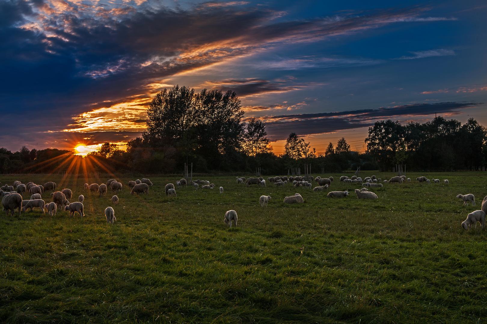 Sonnenuntergang bei der Schafherde