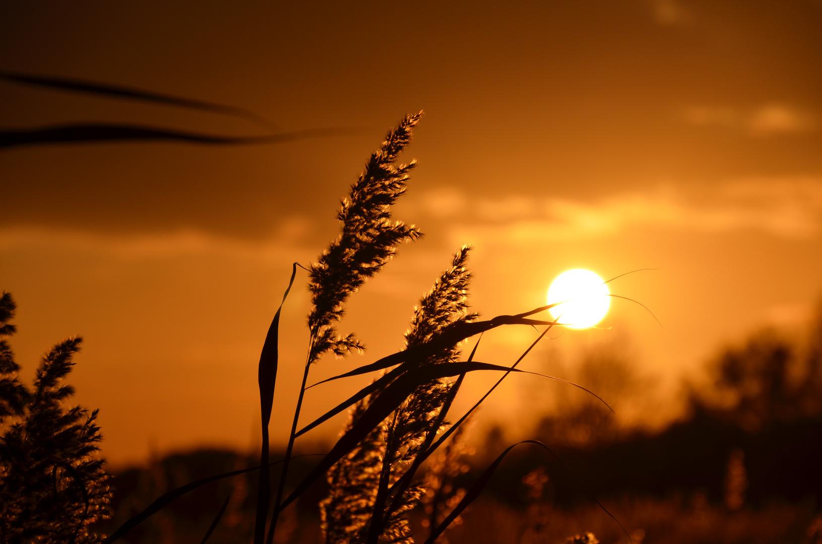 Sonnenuntergang im Schilf