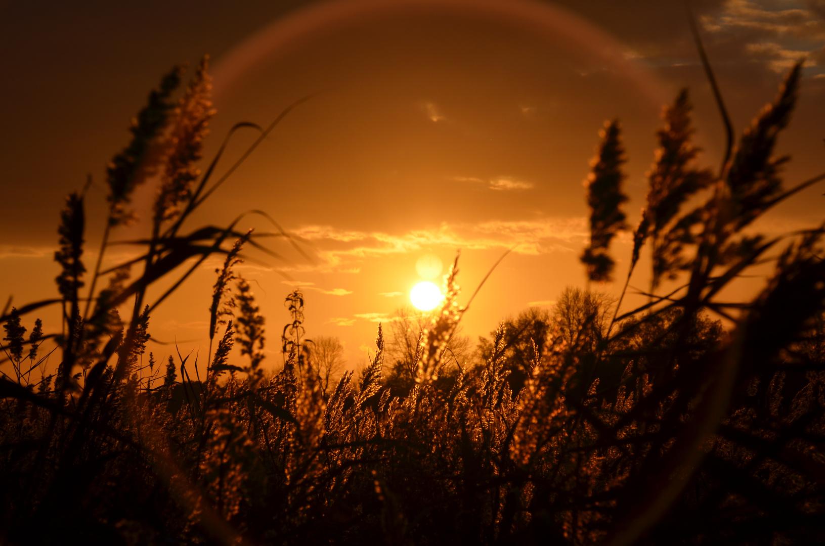 Sonnenuntergang im Schilf II