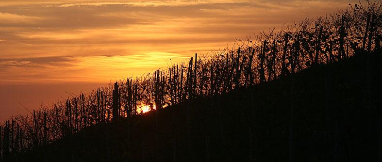 Sonnenuntergang im Weinfeld
