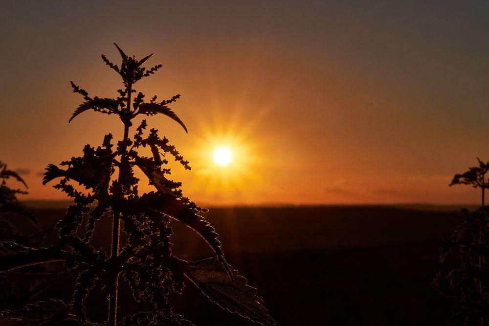 Sonnenuntergang mit Brennnessel