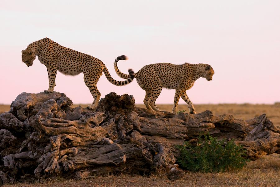Sonnenuntergang mit Cheetahs