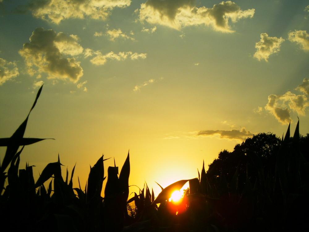 Sonnenuntergang über einem Maisfeld in Kirchhellen
