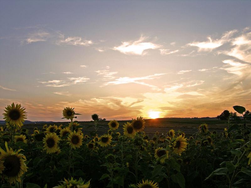 Sonnenuntergangsblumen