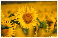 Sonnige Blume