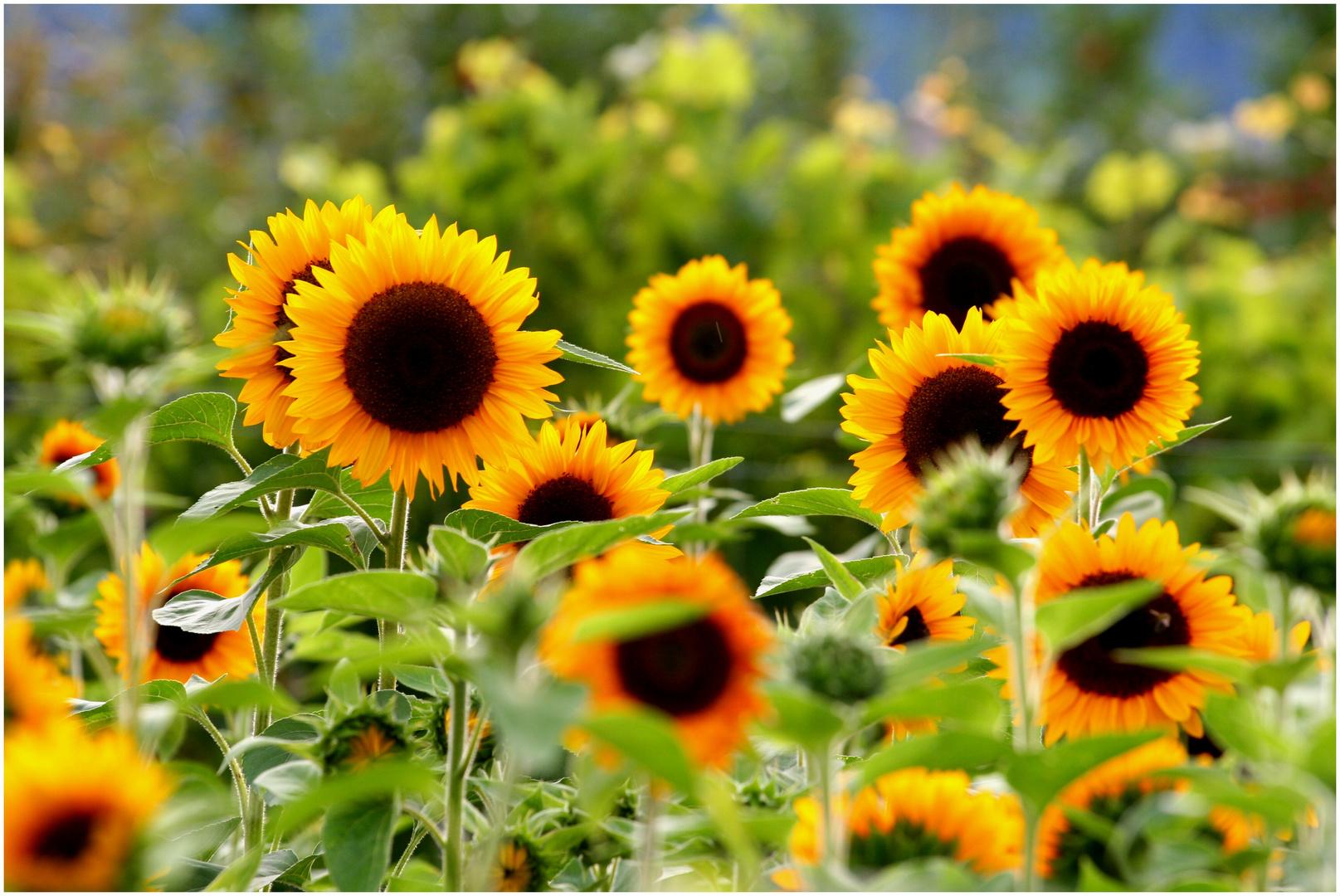 Sonnige Grüße an alle Foto & Bild | pflanzen, pilze & flechten ...