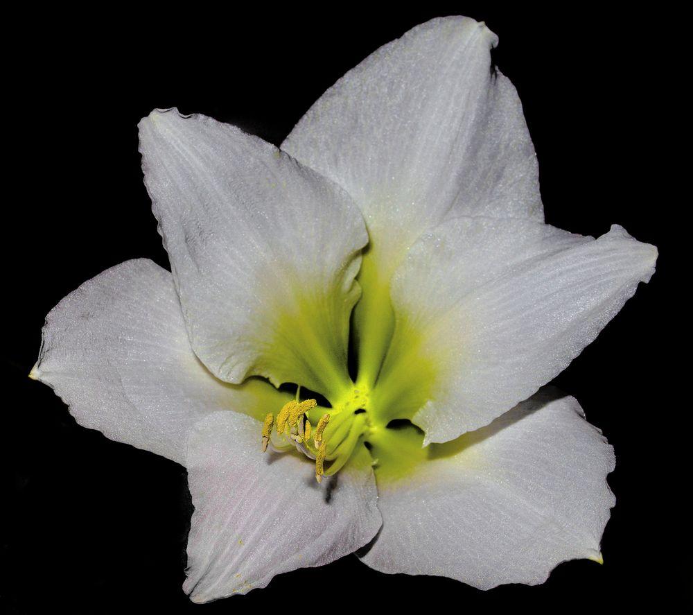 Sonntags-Blume
