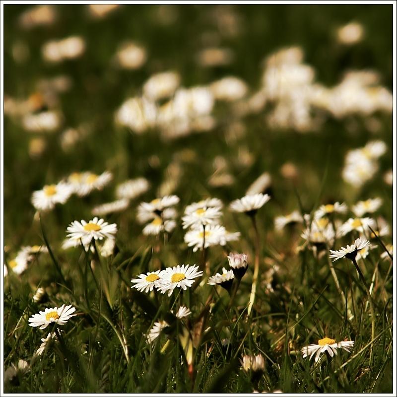 Sonntagsblümchen
