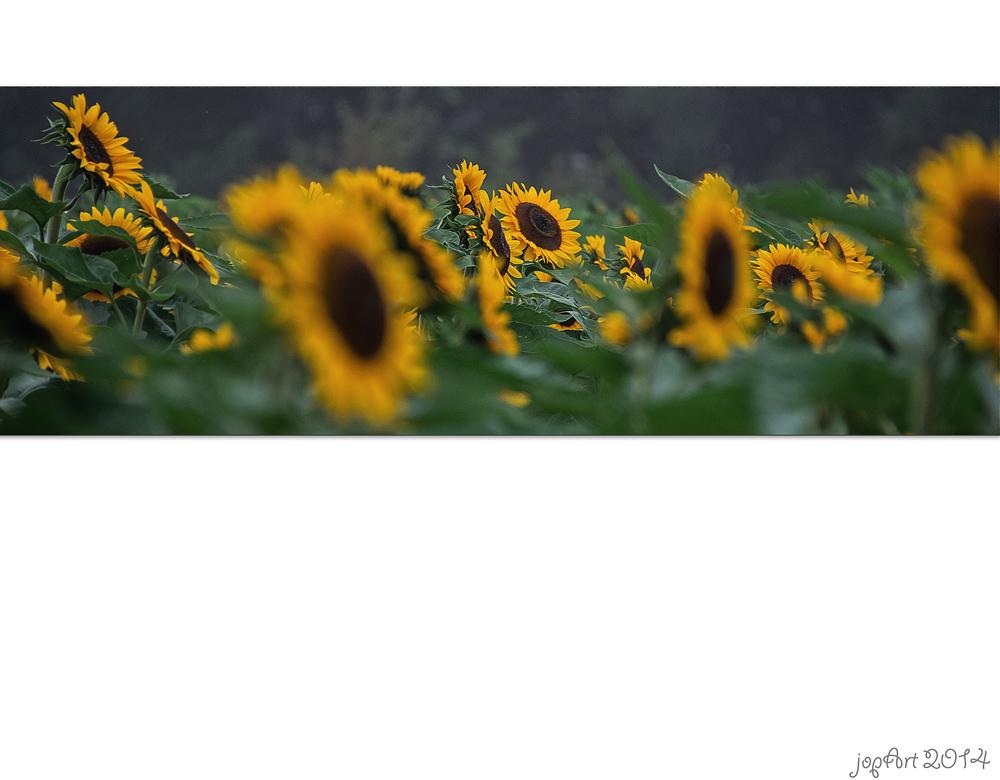 Sonntagssonnenblumengruß...