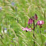 Sono fioriti i Gigli martagone