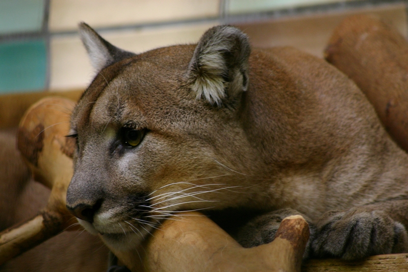 """""""Sonora"""" Montana Puma (Puma concolor missoulensis)"""