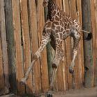 Sophie la girafe volante
