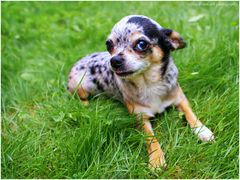 Soraya, blue- merle- Chihuahua
