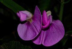 Sottobosco(orchidea selvatica spontanea)