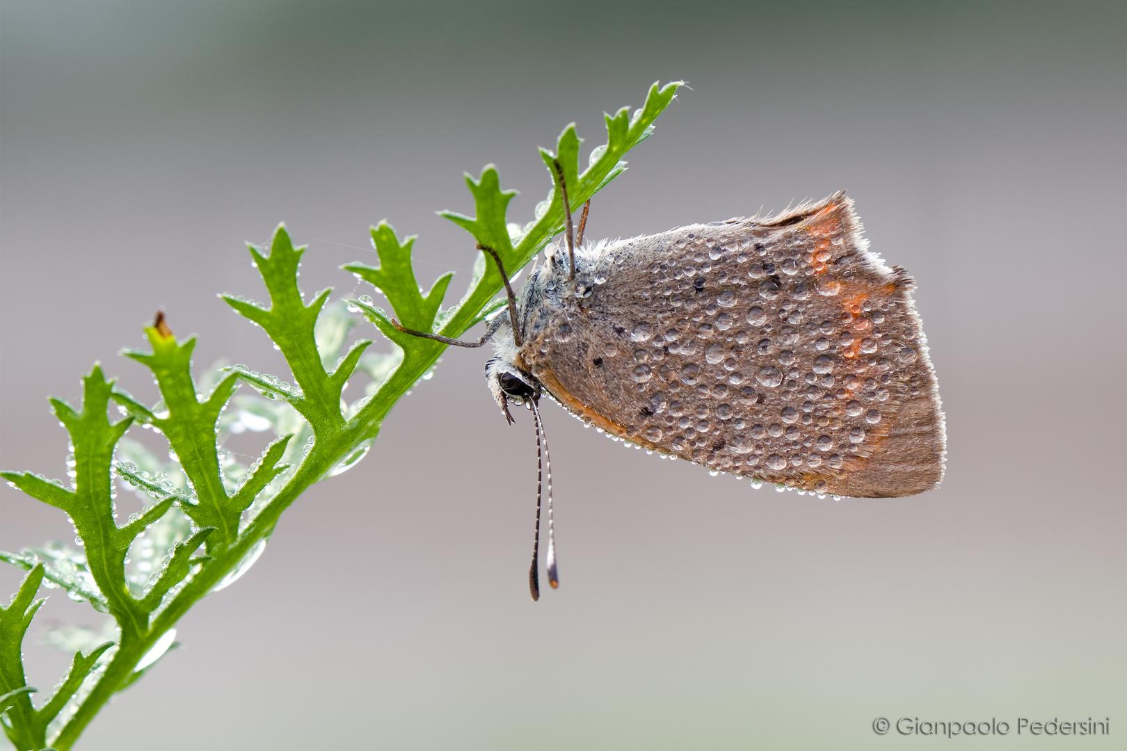 Sottosopra (Lycaena phlaeas )