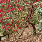 sous le Rhododendron rouge