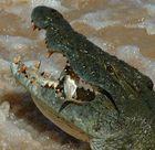 South Africa - Crocodile