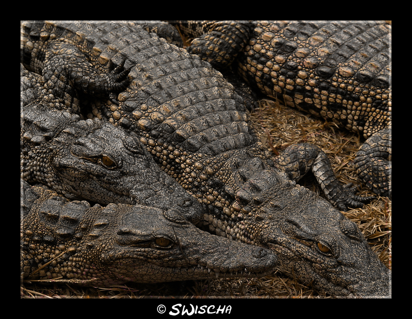 South African Crocodiles
