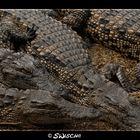 South African Crocodiles
