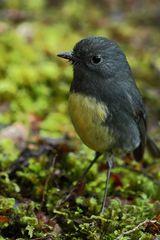 South-Island-Robin