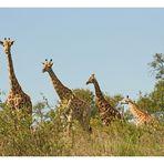 [southafrica] ... Giraffenstaffel