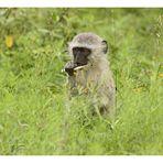 [southafrica] ... my tasty sugar cane!