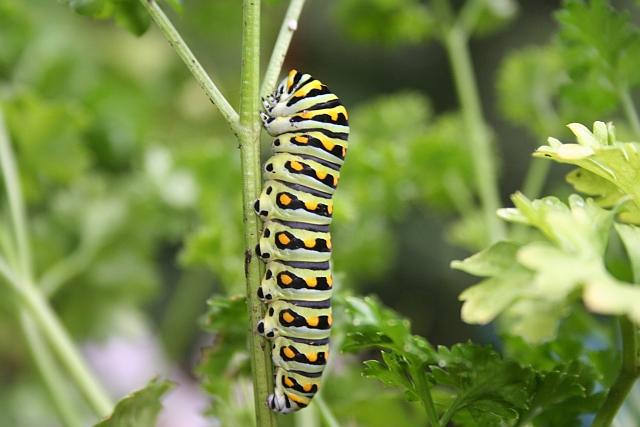 Southeastern Swallowtail Butterly caterpillar