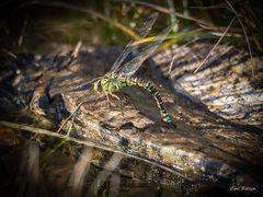 Spät - Blaugrüne Mosaikjungfer