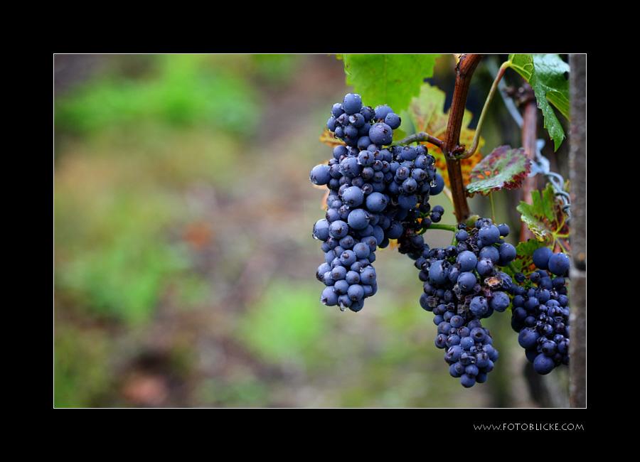 Spät Burgunder