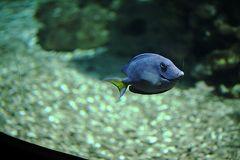 Spaetblauer Doktorfisch