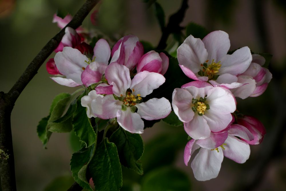 Späte Apfelblüte