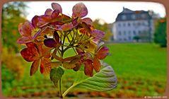 Späte Horthensie am Rosenhügel