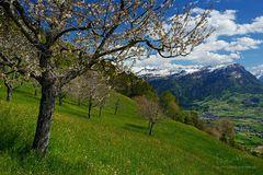 Späte Kirschblüte