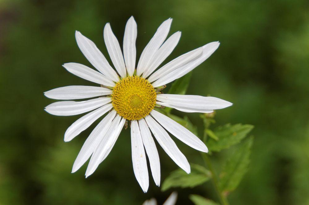 Späte Wucherblume