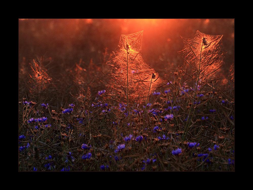 Spätsommer- Licht- Gespinste...