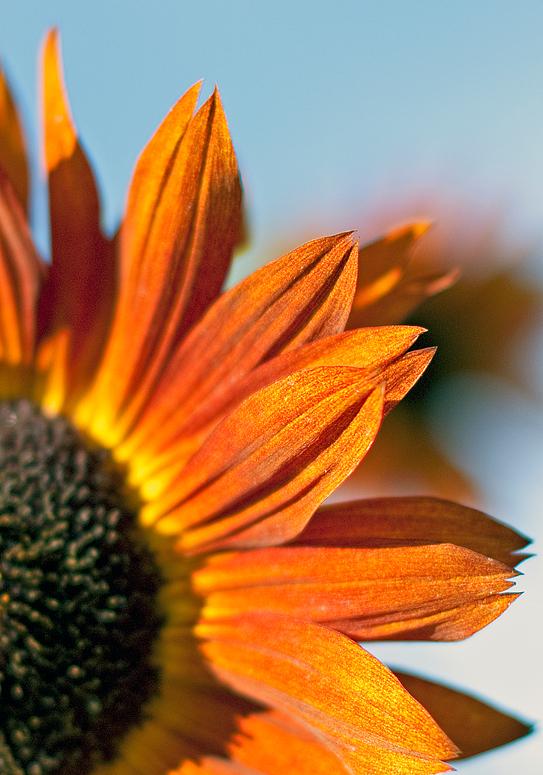 Spätsommer - Sonnenblumendetail