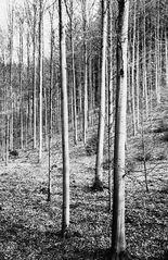 Spätwinter im Buchenwald