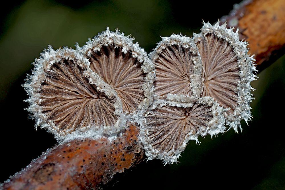 Spaltblättlinge: Pilze im Winter! - Des champignons en plein hiver!